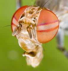 Stilt-legged Fly (Micropezidae)