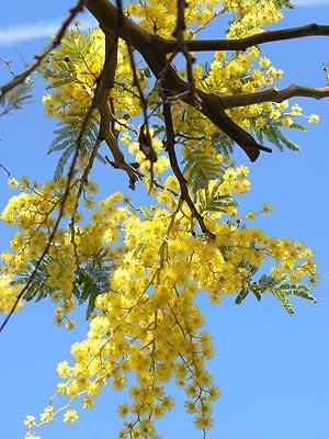 le mimosas.jpg