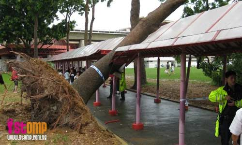 Uprooted tree rests precariously on sheltered linkway