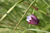 closing time (rlonas) Tags: flower green backyard dof bokeh daisy cy osteospermum challengeyouwinner pfogold hbwe