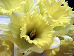 Daffodil (120/365)