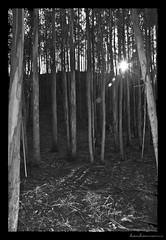 Atardece el sol de Otoo III (kankamusina) Tags: bw blancoynegro sol atardecer nikon flash sb600 asturias playa bn bosque elisa navia fernandez asturies menendez frejulfe frexulfe d80 blackandwhitte kankamusilla kankamusina asturalia elisafernandez eucalitos elikanka elisafernandezmenendez