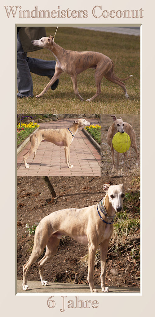 Windmeisters Coconut (Coco) Animagi Whippets