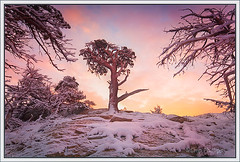 Windblown Pine (Chip Phillips) Tags: park pink blue winter orange white snow tree yellow pine sunrise landscape photography montana wind phillips glacier national chip windblown skycloudssun ostrellina alemdagqualityonlyclub thebestofmimamorsgroups