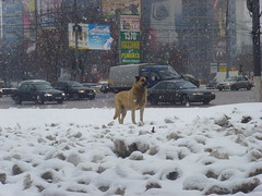 Dog () Tags: road city winter dog white snow cars buildings ads advertising spring waiting looking russia moscow homeless ground falling kolomenskaya nagatinskaya