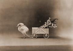 [フリー画像] [動物写真] [鳥類] [鶏/ニワトリ] [雛/ヒナ] [ヒヨコ] [モノクロ写真]     [フリー素材]