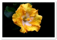 Yellow Hibiscus-2659 (Barbara J H) Tags: flower garden australia hibiscus qld maroochydore yellowhibiscus barbarjh vosplusbellesphotos yellowhibiscusflower