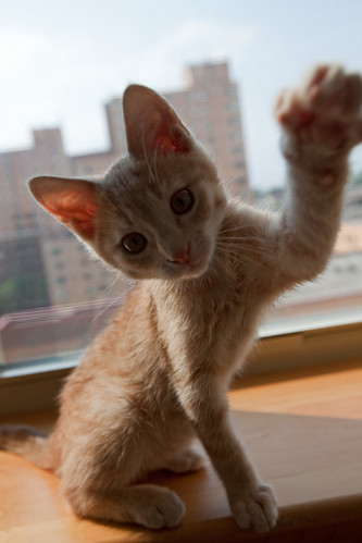 フリー画像| 動物写真| 哺乳類| ネコ科| 猫/ネコ| 子猫| チャトラ| 猫パンチ|    フリー素材|
