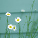 {daisy} by Leaca's Philosophy