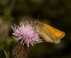 "Skipper Butterfly(5) • <a style=""font-size:0.8em;"" href=""http://www.flickr.com/photos/57024565@N00/3787762601/"" target=""_blank"">View on Flickr</a>"