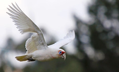 Long-billed Corella : Doomed Flight ? (Clement Tang ** Busy **) Tags: winter nature inflight wildlife parrot australia victoria avian nationalgeographic birdwatcher longbilled corella cacatuatenuirostris closetonature slbflying mullummullumreserve