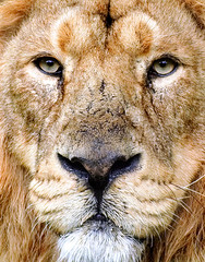 The King (Steve Wilson - over 2 million views thank you) Tags: uk portrait england india male closeup forest garden geotagged asian zoo nikon europe king close cheshire indian lion conservation chester jungle breeding endangered d200 geotag rare gir asiatic upton chesterzoo zoological asiaticlion nikond200 indianlion caughall
