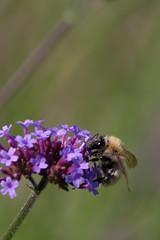Parc de Bercy (MissDogo) Tags: paris macro fleur parc abeilles insectes bourdon proxyphoto hym hyménoptères courtsaintemilion hymnoptres