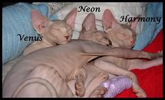 My 3 Sphynx Babies 2 (Kaotic Harmony) Tags: shadow cat star neon venus dancing unique alien luna sphynx shiva hairless bela nyx lalena fleshy