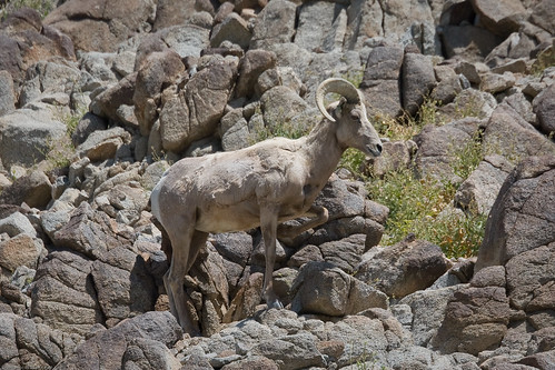 Desert Bighorn Sheep by you.