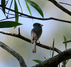 LEADEN FLYCATCHER (petefeats) Tags: nature birds female australia queensland leadenflycatcher enoggerareservoir