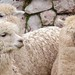 Woolly Llama Trio, Sacred Valley - RETURN OF THE INCAS
