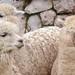 Woolly Llama Trio, Sacred Valley - RETURN OF THE INCAS