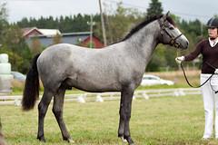 Maplehill Fionn O'Farrell (Rozpravka) Tags: show horse grey pony connemara colt pernaja connemarapony