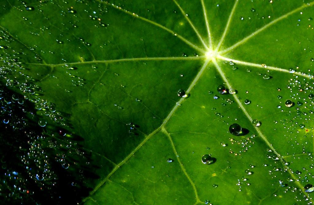 Dew drops on the leaf of Nasturtium (NL: Oostindische kers)