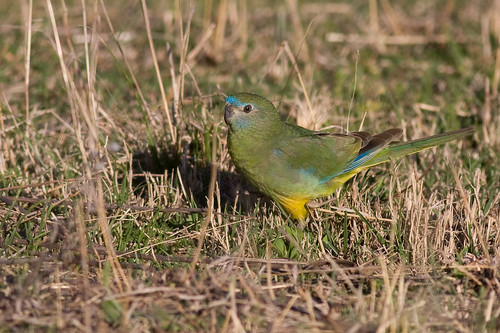 female Turquoise Parrot