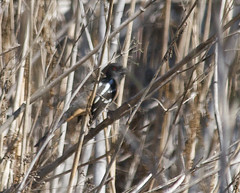 Un-spotted Towhee Photo