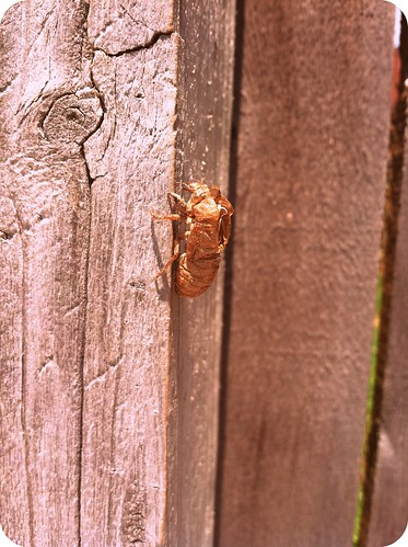 cicadas2