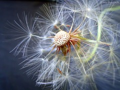 Flor Dente de Leo - Taraxacum (Tony Borrach) Tags: brazil black flores flower macro planta so