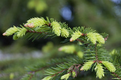 Additions (StarlightHope) Tags: wood pine forest bokeh needle skog tall barr allys
