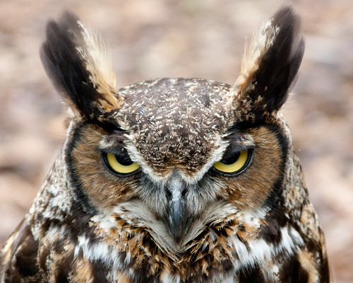 Wise Old Owl by matneym