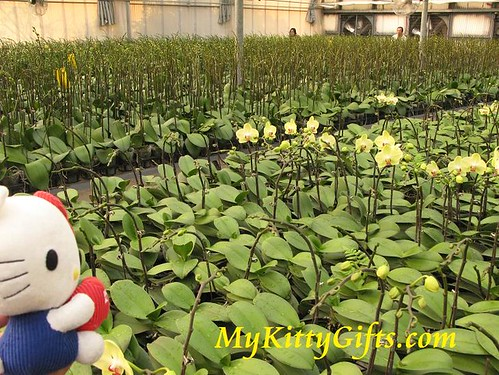 Hello Kitty Watching White Orchid Nursery Field in Hong Kong Orchid Trip