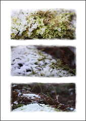 Moss & Frost (chando*) Tags: winter brussels moss frost triptych bokeh hiver bruxelles fourseasons triptyque mousse givre 4seasons fortdesoignes sonianwood