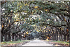 Live Oaks Avenue (Jill's Junk) Tags: georgia spanishmoss savannah wormsloe liveoaks supershot anawesomeshot jillsjunk
