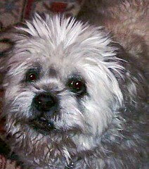 Ted, lhasa apso, age 14