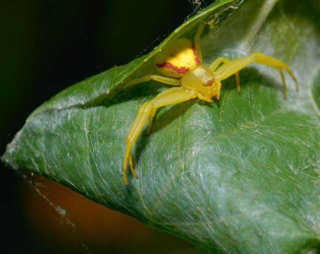 Spider on Leaf