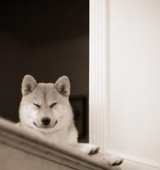 Good Night Shiba (kaoni701) Tags: suki shiba inu shibainu dog doggy puppy spitz japan nihon sleep sleepy nap animal mammal stairs house nikon dx d70 50mm 14
