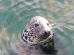 Seals in The Harbour at St.Ives,Cornwall (9) (john47kent) Tags: england water swimming cornwall harbour seal seals mammals stives penwith coth supershot dmctz3