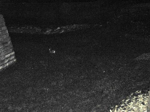 Sasquatch or a Rabbit?