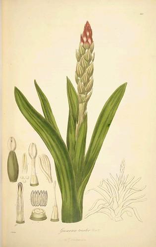 Gusmannia tricolor