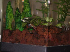 More Guppies (cin_kong) Tags: aquarium guppy livebearer
