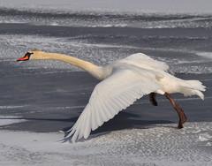 Ice Swan Dancing (JRIDLEY1) Tags: blue white snow ice swan deer kensington naturesfinest zenfolio mywinners abigfave citrit nikond3 jridley1 jimridley photocontesttnc09 dailynaturetnc09 httpjimridleyzenfoliocom photocontesttnc10 lifetnc10 photocontesttnc11 photocontesttnc12 photocontesttnc13