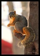 squirrel (Shanna Shattan) Tags: squirrel animalplanet visualart allanimals naturesfinest mywinners impressedbeauty citrit beatifulcapture theperfectphotographer goldstaraward natureselegantshots