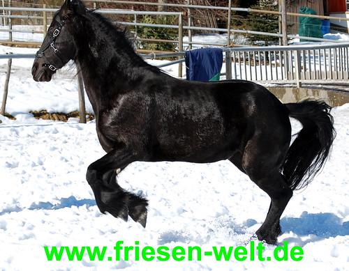 Friesen Hengst