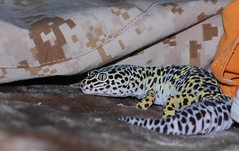 Larry (lellis33) Tags: lizard leopardgecko