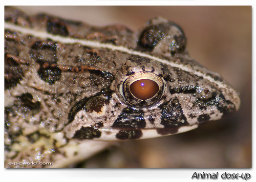 Frog close up 1 picture