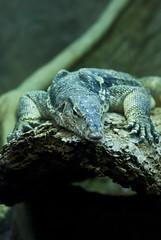 Varano (Girovagando) Tags: roma animals zoo nikon reptile lizard 70200 animali giardino villaborghese zoologico rettile varano bioparco d80