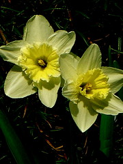 Two Happy Daffodils (cdvoorhis) Tags: daffodils herbgarden