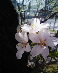 回り道して桜