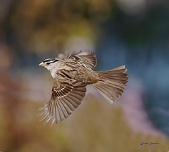 White-crowned Sparrow (jsutton8) Tags: bird flying sparrow birdwatcher whitecrownedsparrow otw concordians slbflying