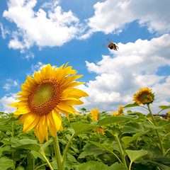 Places To Go (TheJbot) Tags: sky japan clouds ouch buzz colorful flight bee sunflower 日本 distillery breathtaking jbot ひまわり 40d skytheme thejbot breathtakinggoldaward